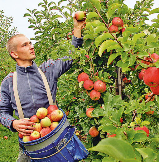 Apfelernte von Hand