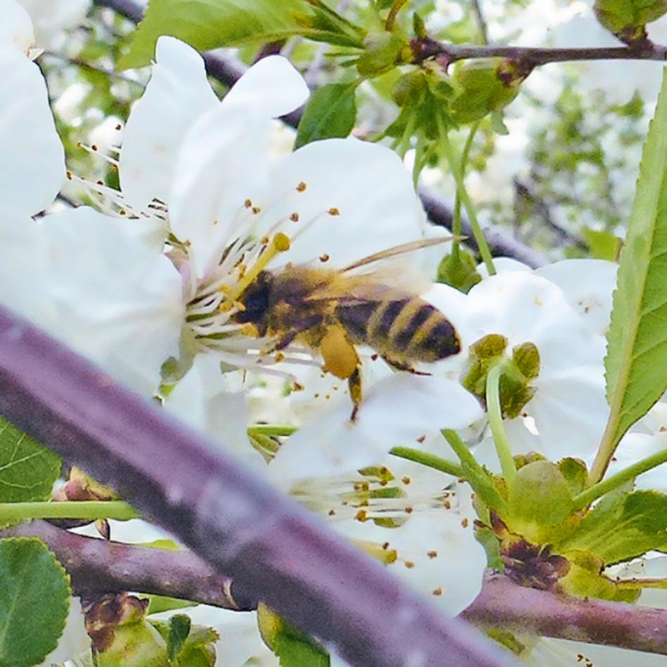 Honigbienen sind bedeutend für den Obstbau