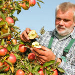 Qualitätskontolle von Äpfeln