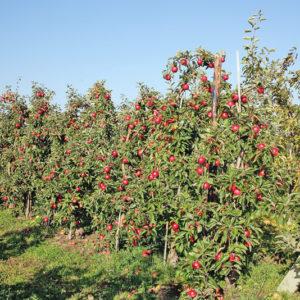 Apfelplantage_sRGB