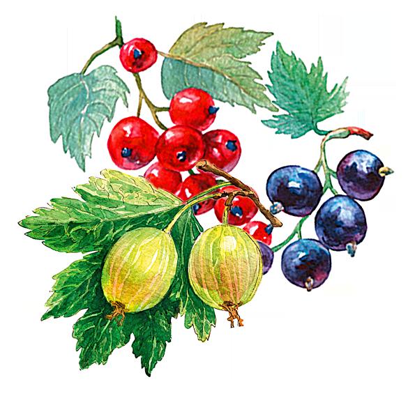Johannisbeeren und Stachelbeeren