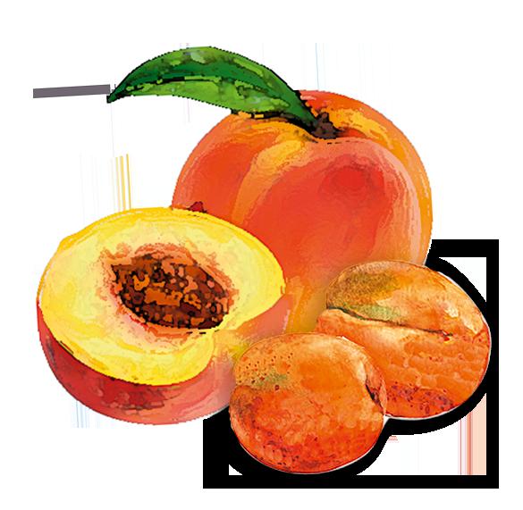 Pfirsich und Aprikose